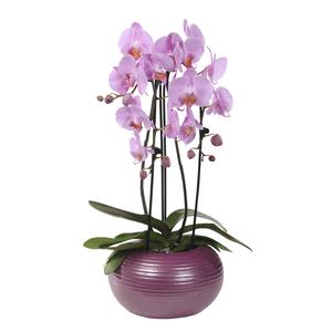Orchidée Phalaenopsis 2 branches cascade en pot de 12 cm