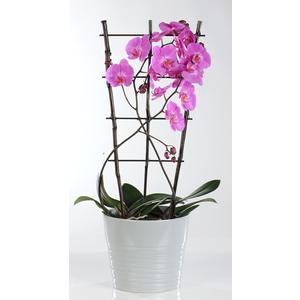 Orchidée avec espallier