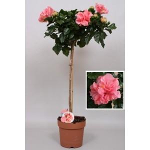Hibiscus rose Ø 23 cm