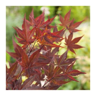 Erable du Japon (ACER PALMATUM ROUGE ) Le pot de 25 L