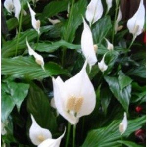 Spathiphyllum Sweet Laure