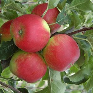 Pommier Pomme Des Moissons ® Delprivale forme 1/2 tige