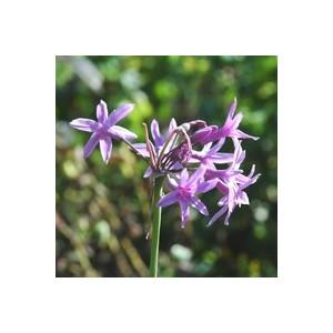 Tulbaghia Violacea. Le pot de 1 litre