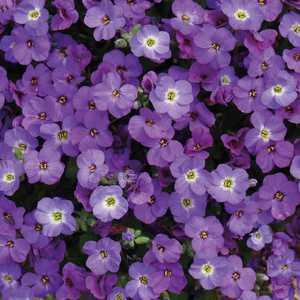 Aubriete  Violette. Le pot de 9x9 cm