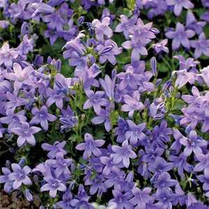 Campanules la touche de douceur conseil balcon terrasse botanic botanic - Campanule des murs ...