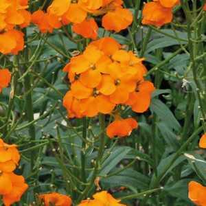 Giroflée orange. Le pot de 9x9 cm 183433