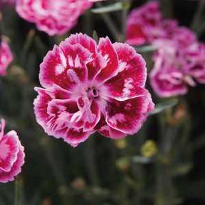 Oeillet Mignardise Violet. Le pot de 9x9 cm