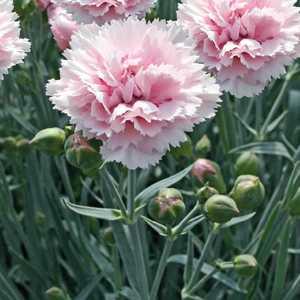 Oeillet Mignardise Rose Frange. Le pot de 9x9 cm