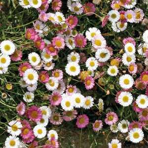 Vergerette  Blanc Rose. Le pot de 9x9 cm 183466