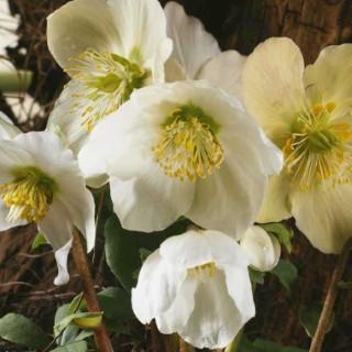 Rose de no l blanche pot de 9 cm x 9 cm botanic - Rose de noel en pot ...