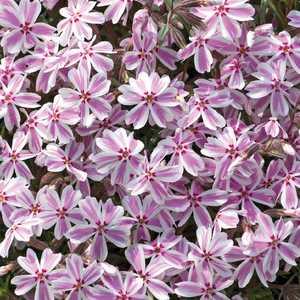 Phlox En Coussin Rose-Blanc. Le pot de 9x9 cm