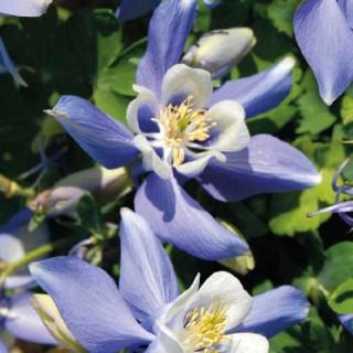 Ancolie  Bleue. Le pot de 9x9 cm 183552