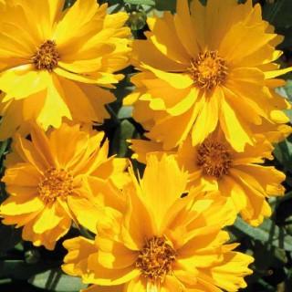 Coreopsis Haut Fleur Simple. Le pot de 9x9 cm 183561