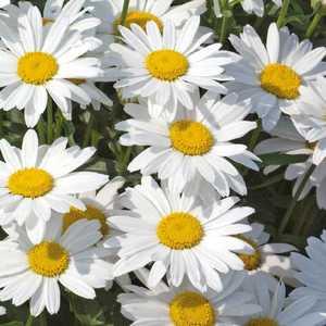 Marguerite d'été. Le pot de 9x9 cm