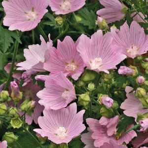 Malva  Rose. Le pot de 9x9 cm 183592
