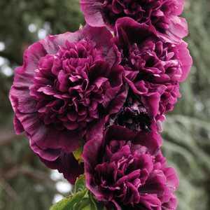 Rose tr mi re violette pot de 9 cm x 9 cm botanic - Rose tremiere en pot ...