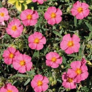 Helianthème  Rose Pale. Le pot de 9x9 cm