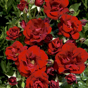 Rosier Rose de Fleurie® Le pot de 3 litres