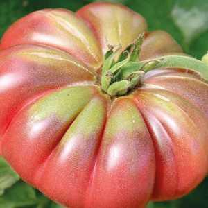 Tomate côtelée Purple Calabash bio. Le pot compostable de 10.5 cm 191168