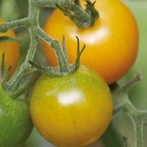 Tomate Cerise ronde Green Grape. Le pot de 10,5 cm