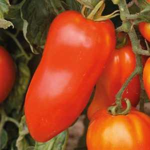 Tomate cornabel greffée