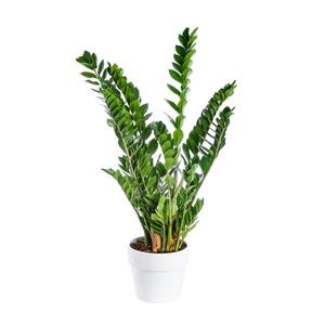 Zamioculcas botanic® pot 31 cm de diamètre 19333