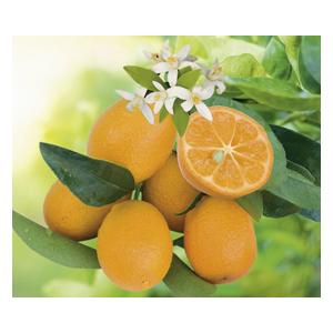 Kumquatine en pot de 3 L Bio