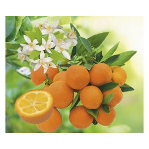 Kumquat Rond en pot de 3 L Bio