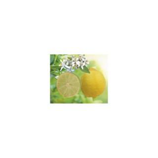 Lime Mexicaine en pot de 3 L Bio