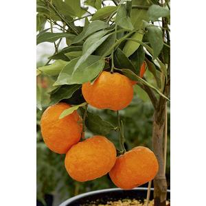 Mandarinier en pot de 3 L Bio