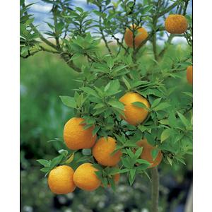 Mandarinier Chinois en pot de 3 L Bio