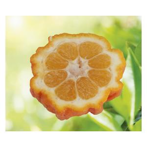 Oranger Bizaria en pot de 3 L Bio