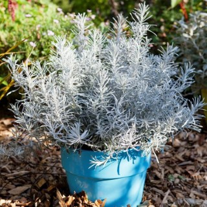 Helichrysum Italicum Korna en pot de 4 L 199605