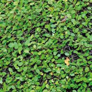Muhlenbergia Capillaris. Le pot de 3 litres 199779