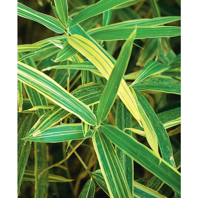 Bambou nain sasa masamuneana 'albostriata' en pot de 3 L