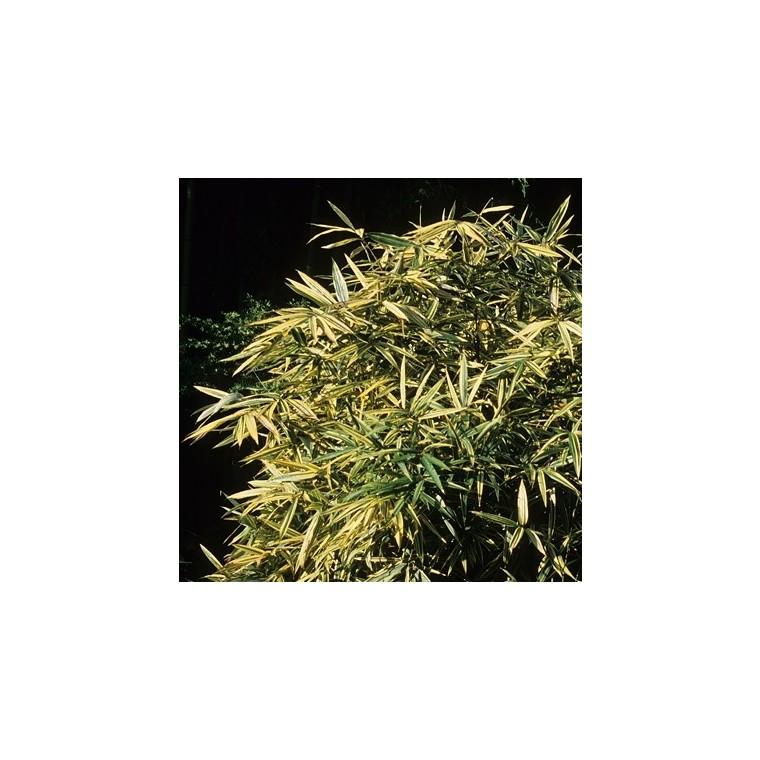 Bambou petit - 3L