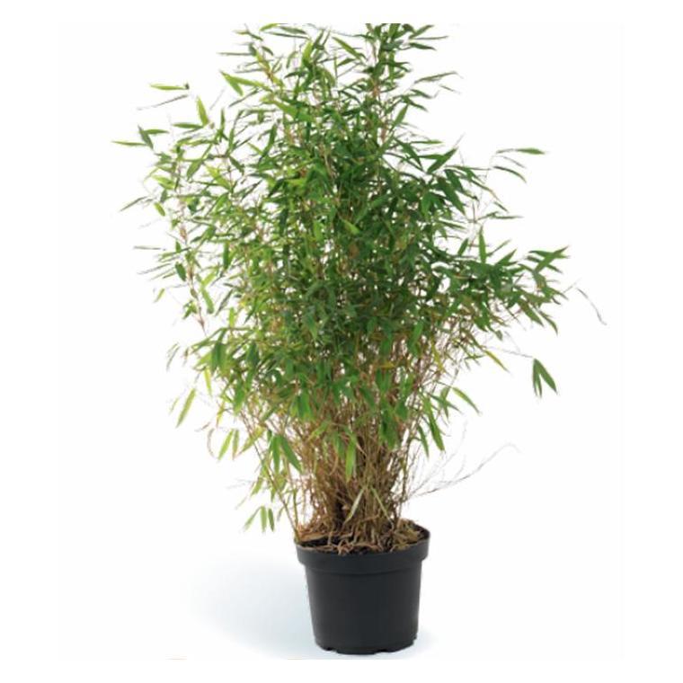 Bambou Fargesia Asia Wonder