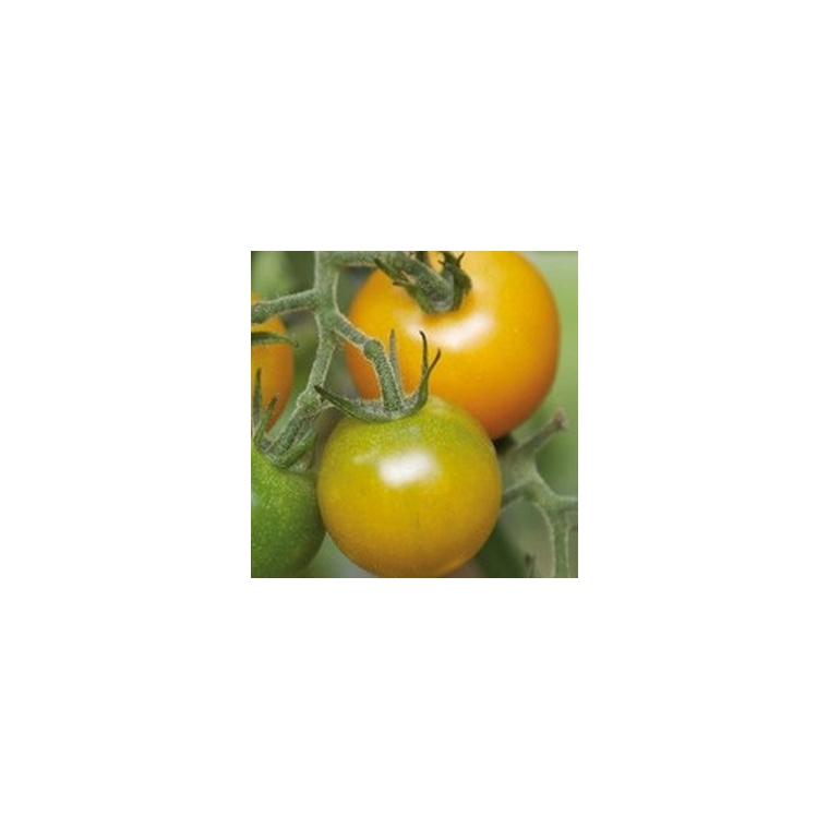 TOMATE CERISE GREEN GRAPE.Le pot de 10,5 cm