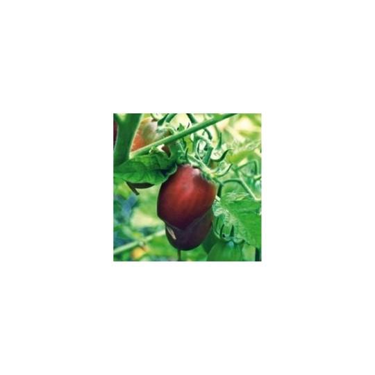 Tomate Cocktail Prune Noire. Le pot de 10,5 cm