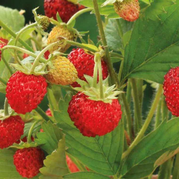 Fraisier Des Bois Non Remontant bio. La barquette de 6 plants 101879