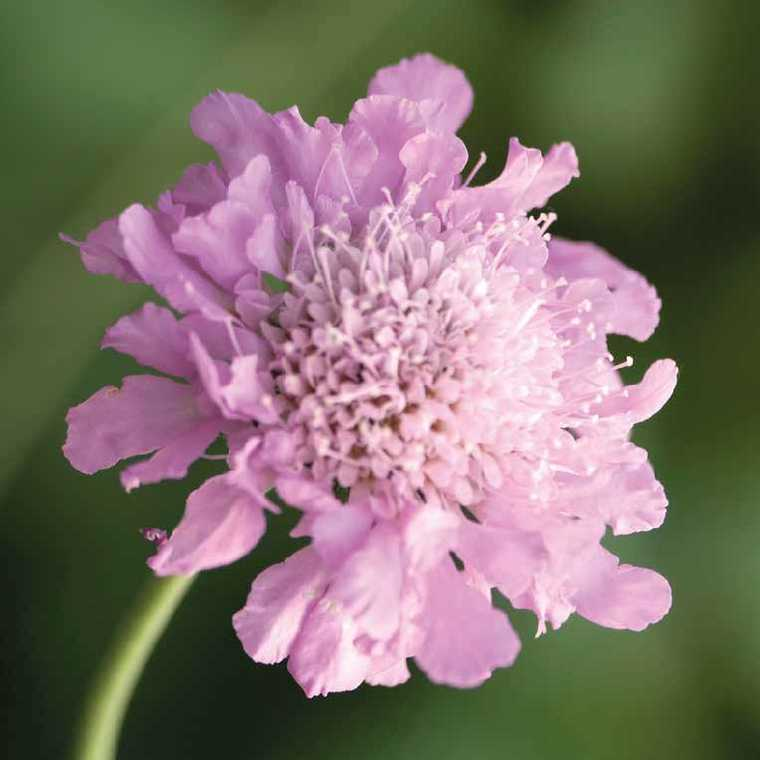 Scabiosa Pink Mist. Le pot de 9x9 cm 102506