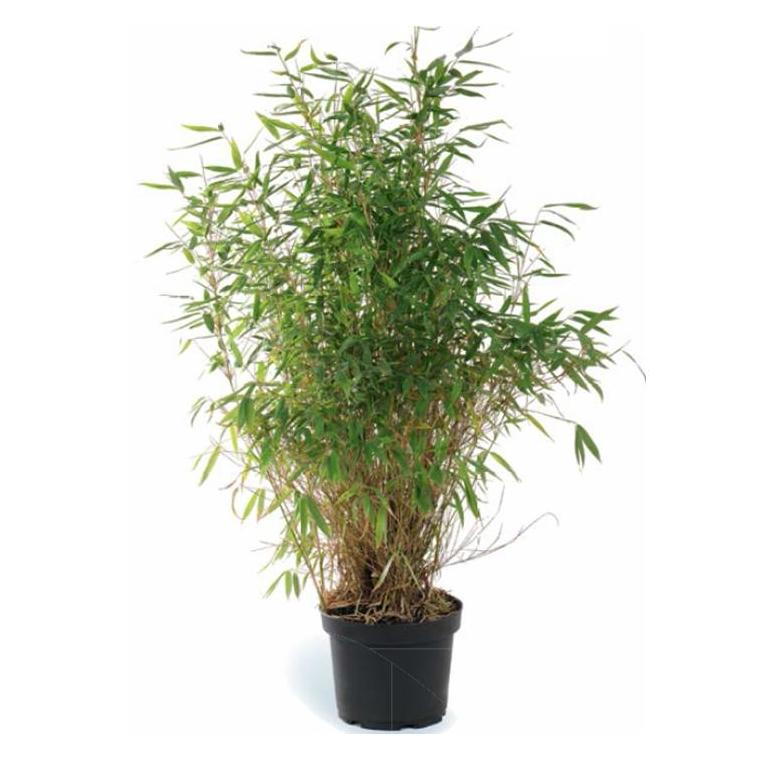 Bambou Fargesia vert moyen en pot de 5 L 102642