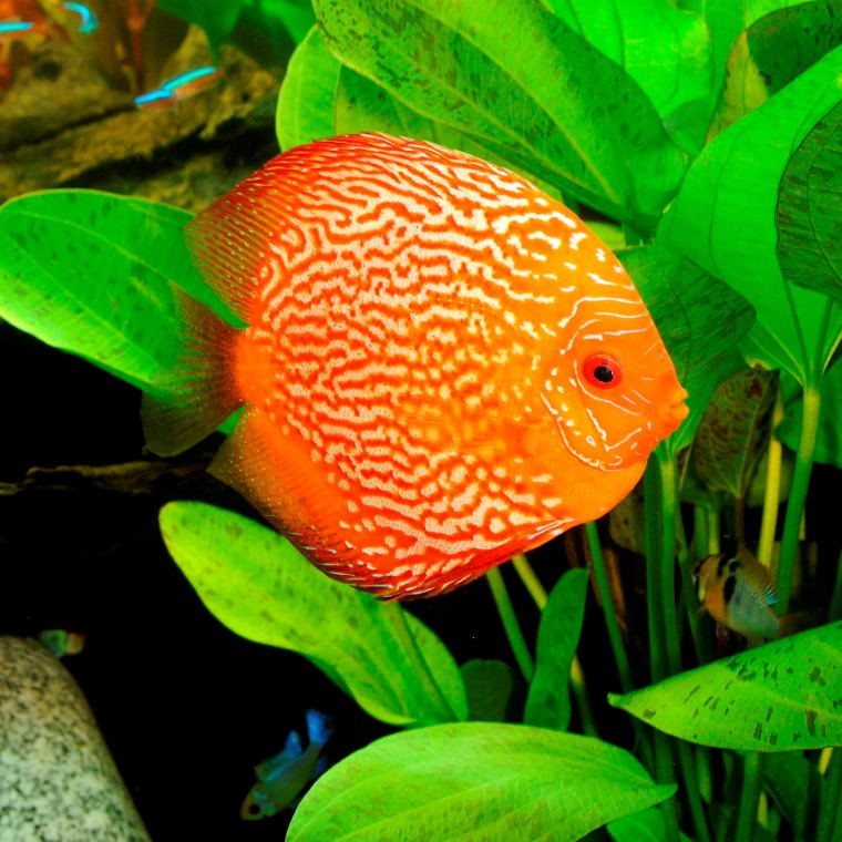 Poisson Discus couleurs variées 10cm 103143