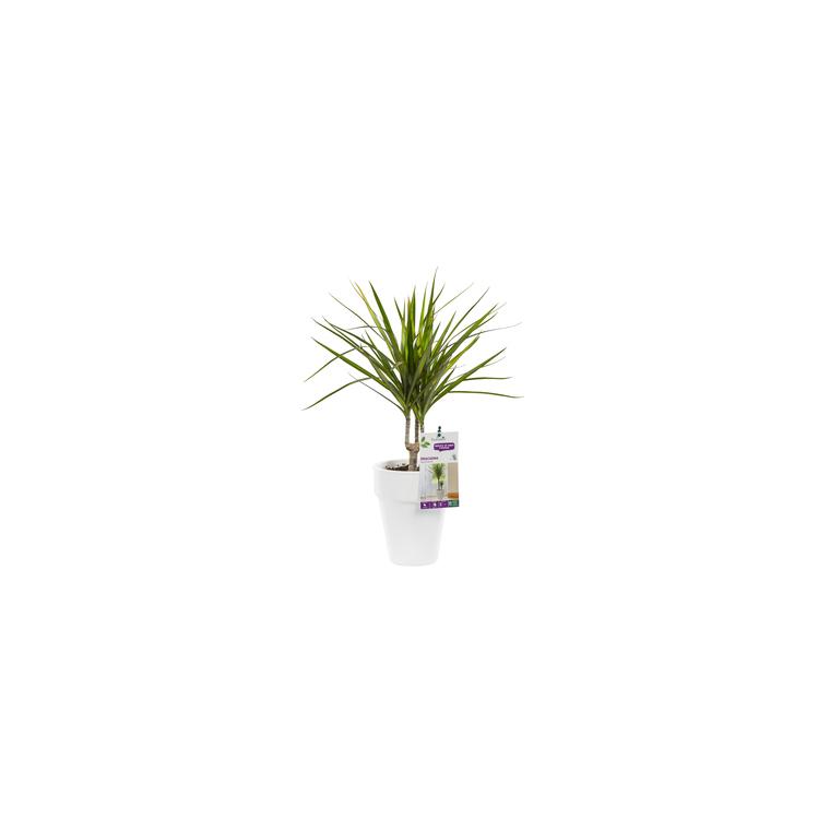 Dracaena marginata vert. Le pot de 15 cm 106863