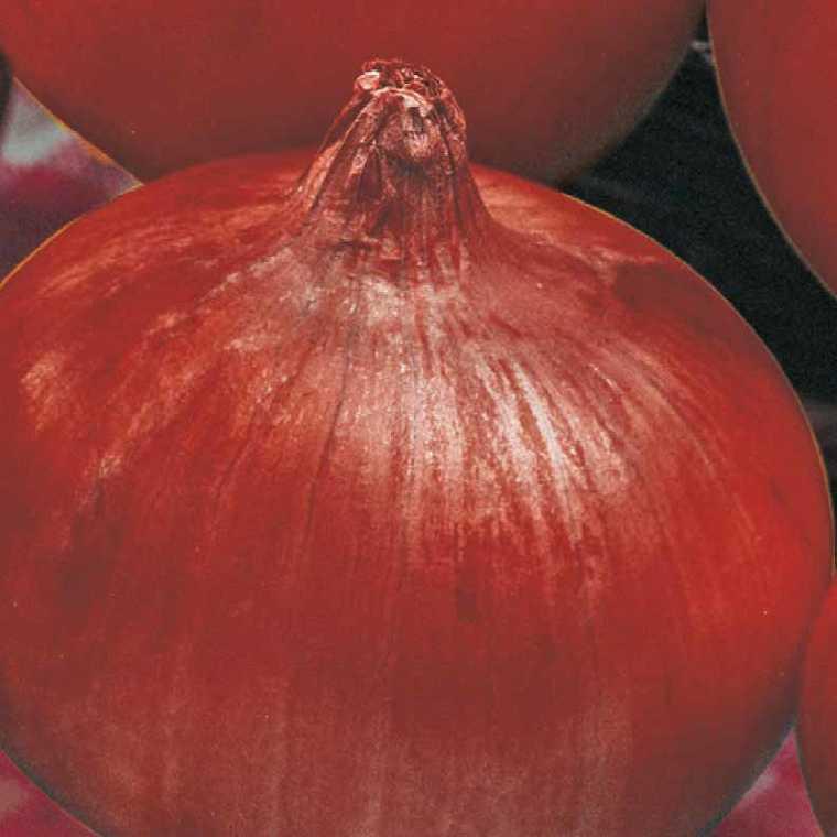 Oignon Rouge Red Baron bio. La barquette de 12 plants 107900