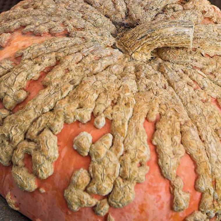 Courge Galeuse D'Eysines bio. Le pot compostable de 10.5 cm 107919