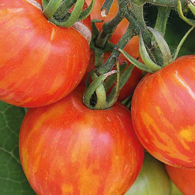 Tomate ronde  Tigrella Bicolore. Le pot compostable de 10,5 cm 107924