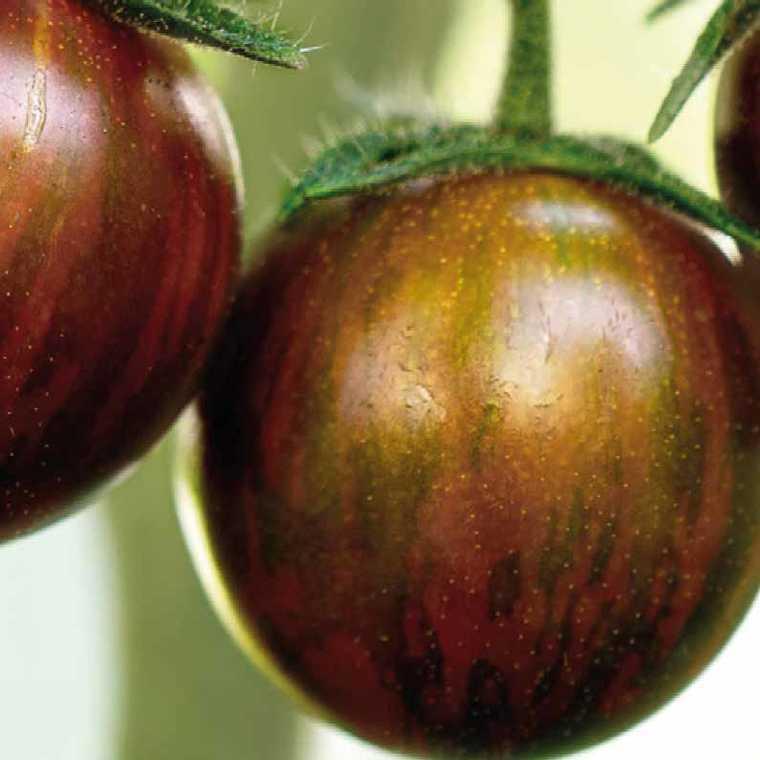 Tomate cocktail  en grappe Black Zebra bio. Le pot compostable de 10.5 cm 107926