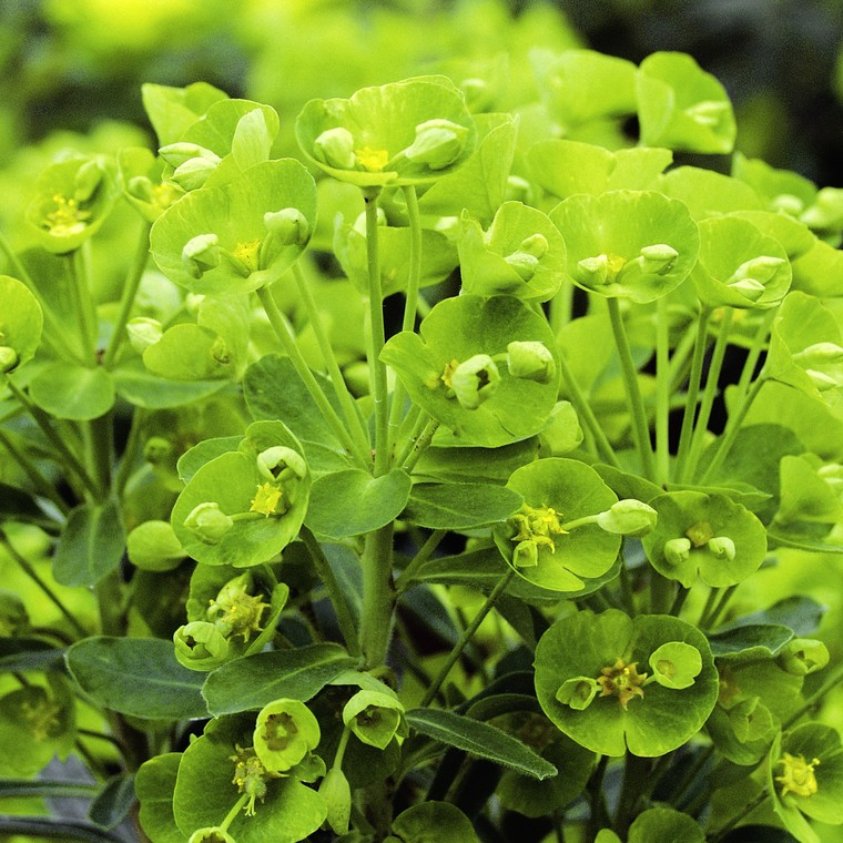 Euphorbia Antigone. Le pot de 1 litre 108885