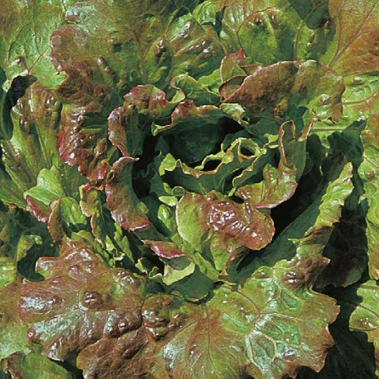 Laitue Batavia Rouge Grenobloise bio. La barquette de 12 plants 109559